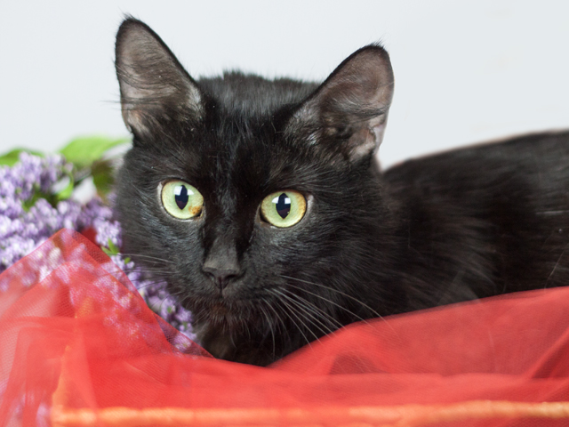 Gloria, an adoptable black cat with green eyes