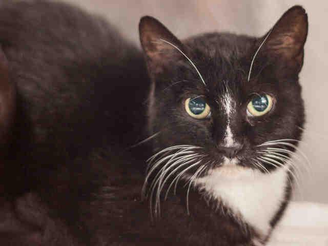 Adoptable cat - Gigi, a black and white cat